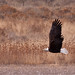 Bald Eagle at Bosque del Apache NWR