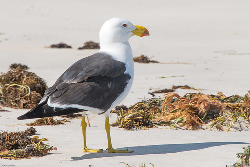 Pacific Gull (Larus pacificus) near Cervantes, WA.