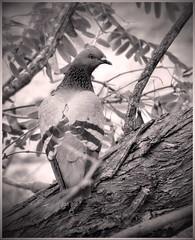 How about some peanuts? HMBT (Mike Goldberg) Tags: bw birds pigeon dove jerusalem neighborhood mikegoldberg shadytree panasonicfz35 hmbt