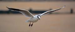 Gull (Ruth S Hart) Tags: uk bird beach fence flight essex frintononsea nikon50300mm nikond5200 ©ruthshart