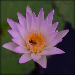 Heart on fire (charmnic) Tags: pink flower nature beautiful thailand waterlily bee honey pinkflower saraburi perfectbeauty muaklek nymphaeanouchali