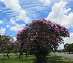 Crowning glory  .  .  .  Explored! (ericrstoner) Tags: brasília clouds nuvens brasilia distritofederal quaresmeira tibouchinagranulosa asasul cirrocumulusundulatus purpleglorytree