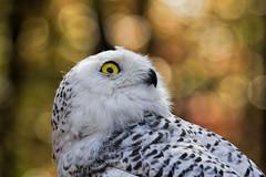 Snowy Owl_DSC2401 (DansPhotoArt) Tags: bird nature fauna nikon wildlife aves raptor owl snowyowl passaros wbs worldbirdsanctuary d7100