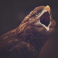 Say Aaahhh!! (Samantha Nicol Art Photography) Tags: portrait bird art mouth open beak feathers sharp raptor prey samantha nicol browon