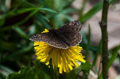 First Skipper of Spring (martytdx) Tags: brown black butterfly adult small nj skipper insects parvinstatepark dorsal elmer skippers hesperiidae bmna horacesduskywing erynnishoratius spreadwingskippers duskywing pyrginae erynnis