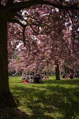 Pink Shade (alzenar) Tags: park paris picnic shade sakura parc hanami sceaux