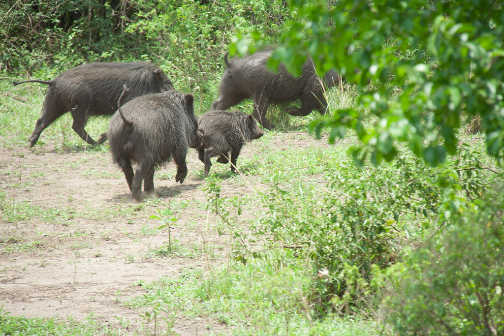 Giant Forest Hogs - Queen Elizabeth National Park, Uganda