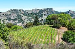Vineyard in Rockpile AVA (philhaber) Tags: california red ava vineyard rocks wine sonoma winery soil zinfandel grape syrah grapevine cabernetsauvignon malbec rockpile cabernetfranc varietal petitesirah drycreekvalley mauritson americanviticulturalarea