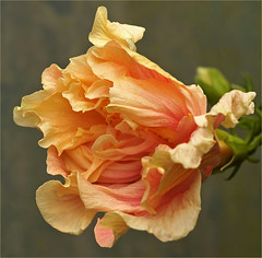 Double hibiscus (Foto Martien) Tags: flower holland colour macro netherlands fleur dutch yellow colorfull flor nederland hibiscus jamaica tropical bloom malvaceae alpha rosemallow blume fiore blte coloure