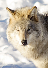 Grey Wolf (~Bella189) Tags: