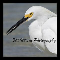 Egret (wildlifephotonj) Tags: bird nature birds wildlife beachbirds egret egrets naturephotography shorebirds wadingbirds naturephotos wildlifephotography wildlifephotos natureprints