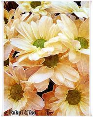 Día de margaritas. (ℝakel_ℰlke ﴾͡๏̯͡๏﴿) Tags: españa white flower rachael fleur yellow luces rachel spain europa europe flor movil samsung mobil raquel murcia celular blomma bunga blume tiare fiore blüte blancas creatividad margaritas virág bulaklak ua lore edición rakel xay bloem lill composicion blóm çiçek kwiat blodau amarillas creativa lule kukka kembang цвет цветок cvijet λουλούδι ดอกไม้ zieds кветка gėlė květina kvetina floare rochele цвете rahela квітка blütezeit regióndemurcia ծաղիկ samsunggalaxy rakelelke samsunggalaxymini ubaxa rakelmurcia samsunggalaxyminisiii