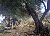 The Roman rock tombs behind an old olive tree (VillaRhapsody) Tags: site roman historical fethiye lykia lycian tlos preroman