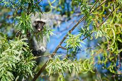 Singe vervet (Yvann Krupa) Tags: africa orange monkey african zimbabwe botswana vervet africain afrique singe orangeriver southernafrica vervetmonkey namibie afriquedusud cercopithecidae chlorocebuspygerythrus afriqueaustrale chobenationalparc singevervet vervetbleu