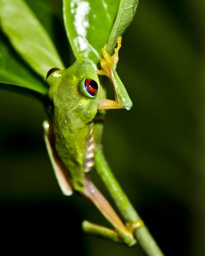 Climbing Red-eyed Treefrog