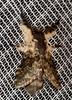Lasiocampidae: Tolype primitiva (K. Zyskowski and Y. Bereshpolova) Tags: brazil lasiocampidae amazonas primitiva yavari javari tolype palmari