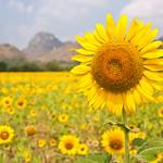 Super Big sunflower thumbnail