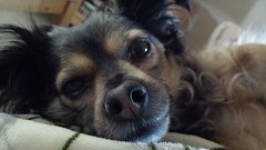 This face! (MDawny72) Tags: dog love furry mine sweet adorable sleepy lazy cuddle adopted adore furbaby keeper itsadogslife mustlovedogs furtails