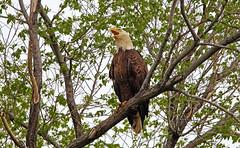 Resident bald eagle - Staten Island, New York (superpugger) Tags: island staten