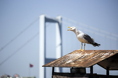 The Scream (The Metonian) Tags: city bridge animal istanbul bosphorus