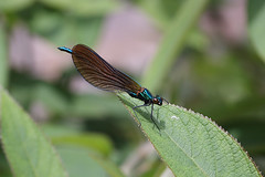 The Beautiful demoiselle damselfly came back #2 (Lord V) Tags: macro bug insect demoiselle damselfly
