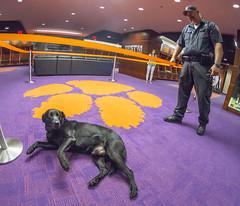 Doc the dog in the locker room (clemsonnews) Tags: bombsniffingdog servicedog clemsonuniversity policedog dog police policeofficer campuspolice deathvalley memorialstadium southcarolina kenscar