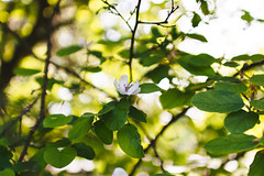 One (Frostroomhead) Tags: plants white flower tree green art nature leaves spring nikon bokeh f14 branches sigma 30mm d5200