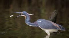 Reverse Layup (gseloff) Tags: fish bird texas feeding wildlife pasadena tricoloredheron menhaden armandbayou kayakphotography gseloff