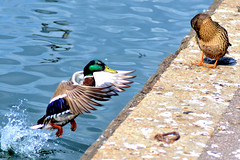 Spring..... When Love Blooms (pallab seth) Tags: uk family bird london nature photo duck spring image wildlife pair mallard drake waterfowl anasplatyrhynchos rspb wildduck anatidae anatinae