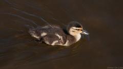 DSC_0035 (Adrian De Lisle) Tags: vancouver duck burnaby mallard babyduck burnabylake