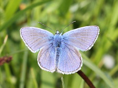Common Blue - East Kent (mikehook51) Tags: uk england nature grass sunshine fauna digital kent spring flora wildlife may butterflies reserve insects lepidoptera common winged grassland commonblue kwt naturereserves bbcspringwatch chalkland kentwildlifetrust eos7d canoneos7d