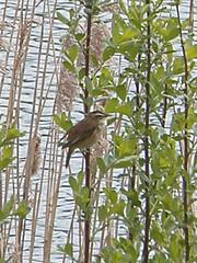 Brandon Marsh (amandabhslater) Tags: lake water birds naturereserve sedgewarbler brandonmarsh