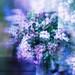 Lilac syncopation