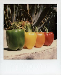 Bell Peppers 1 (tobysx70) Tags: california ca door red toby test orange 3 color green film yellow project polaroid pepper sx70 photography for los bell angeles vegetable canyon hills cameras 600 hollywood type peppers member rollers cracks hancock gen pioneer slr680 generation bellpepper impossible 1215 beachwood the gen3 frankenroid impossaroid