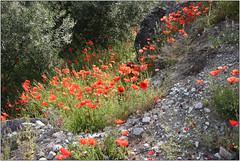 Poppied Path (Mabacam) Tags: mountain mountains nature walking outdoors countryside spain view hiking country andalucia trail moorish poppies vista 2016 sayalonga canillasdealbaida romanpath