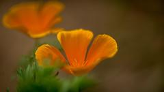 Blumen gehen immer (mkniebes) Tags: flowers orange abstract green nature zeiss spring bokeh smooth silky zf2 makroplanart2100