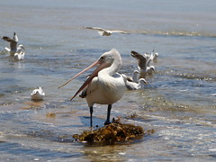 IMG_0485 (biqua) Tags: pelican nsw theentrance