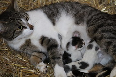 Suprice in the barn , Yesterday Morning (excellentzebu1050) Tags: pet animal animals closeup cat farm birth kittens newborn newlife animalportraits coth5 kittenscatjune2016