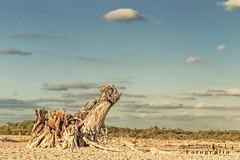 Sisal 9695 ch (Emilio Segura Lpez) Tags: mxico yucatn sisal tronco mangle cinega
