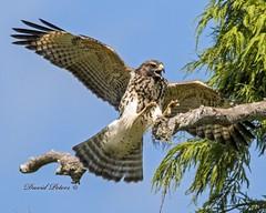 Red-shouldered Hawk (in explore) (snokiepeters) Tags: hawk redshoulderedhawk inexplore