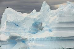 Skua on Ice Arch (naturalturn) Tags: blue snow ice hole antarctica iceberg icicles strait skua gerlache gerlachestrait image:rating=5 image:id=190376