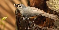 3S5X1320  Titmouse (Eileen Fonferko) Tags: nature wildlife titmouse