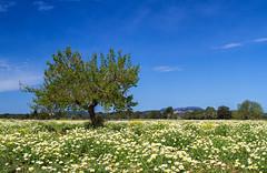 Baum in Wiese (Foto-Unlimited) Tags: wiese mallorca baum balearen