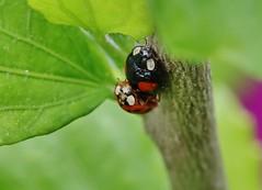 Multi Culturel (Hugo von Schreck) Tags: macro insect ladybug makro insekt marienkfer buzznbugz onlythebestofnature tamron28300mmf3563divcpzda010 canoneos5dsr hugovonschreck