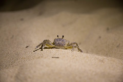Ghostcrab Hunting (jm.weeden) Tags: sea macro beach nature beautiful animals night canon photography bay cool sand marine photographer wildlife awesome crab sealife vabeach crabs chesapeake picoftheday macrophotography