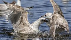 Larus argentatus / European herring gulls /   / Slvmger (sttdk1) Tags: wild bird european wildlife gull herring larus argentatus slvmge
