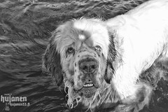 What? (hujanen53) Tags: blackandwhite bw dog animal photoshop suomi finland photoshopped spaniel mustavalko elin lappeenranta dogportrait koira mustavalkoinen canonef35mmf20 clumberspaniel skecthing spanieli canoneos450d clumberinspanieli