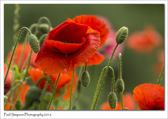 Summer Poppies (Paul Simpson Photography) Tags: flowers summer plant flower nature leaves outdoor poppy poppies buds bud naturalworld redflower summerflower redpoppy flowerphotos photosof imageof photoof imagesof sonya77 paulsimpsonphotography june2016