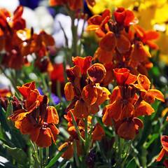 Goldlack (ingrid eulenfan) Tags: orange natur pflanze bume blten goldlack