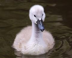 Young Cygnet (Doyleecart Photography) Tags: wild england cute bird water outside cygnet somerset calm serene ripples moat mendip bishopspalace canon5dmkiii doyleecart